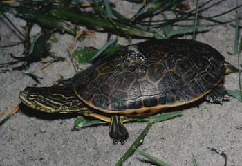 Chicken Turtle (Deirochelys Reticularia)