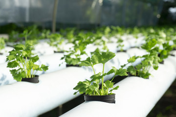 Hydroponics celery green vegetables in black plastic cup on the white rails.