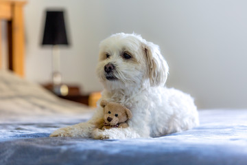 Small female dog in the bedroom with a small teddy bear