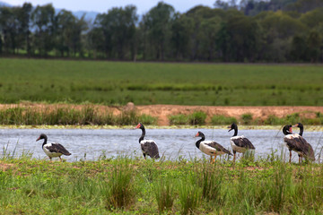 Magpie Geese beside water on the Atherton Tableland in Queensland, Australia