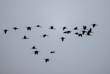 Flock of Plegadis falcinellus birds