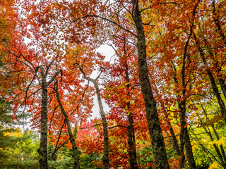 "It is a picture of red maple taken in Canada. This is a picture of autumn leaves seen from the National Park ""Mont-Tremblant"" in the Laurentian Plateau in Quebec, Canada."