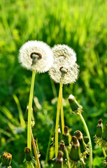 Dandelion with Green grass field with space for text. .Dandelion flower meaning is Long lasting happiness and youthful joy.