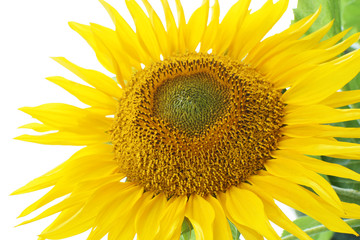 Sunflower Helianthus annuus with bright yellow petals on clear white sky and green leaves background.