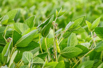 Fototapeten Pistazie Rural landscape - field the soybean (Glycine max) in the rays summer sun, closeup