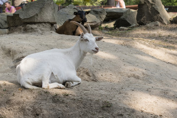 The white goat is resting.