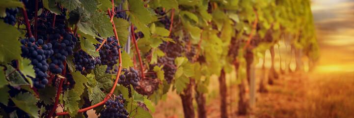 Panorama Weinstock und Weintrauben im Abendlicht bei Sonnenuntergang