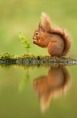 Reflection of a red squirrel