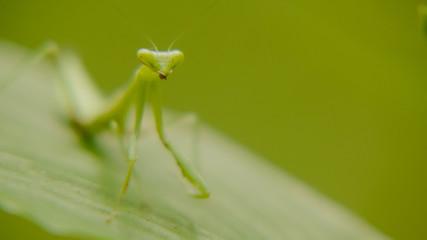 macro shot of green mantis in nature, mantis standing