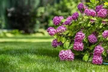 Photo sur Aluminium Hortensia Gardening, flower garden, flowering hydrangea in the garden.