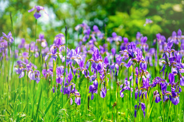 Beautiful violet-blue flowers of wild iris on green background of meadow grasses.