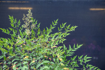 Close up of nandina flowers