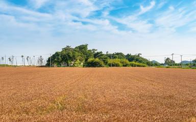 麦畑の風景