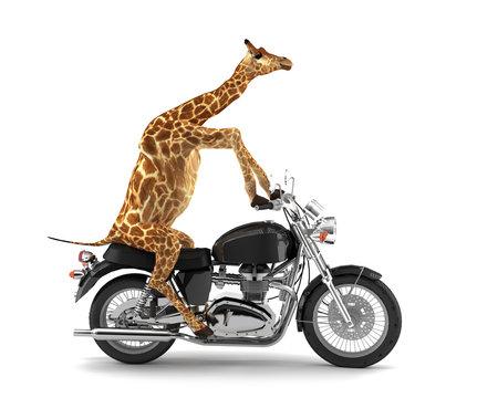 Freigestellte Giraffe auf Motorrad