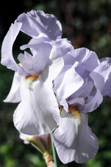 two large flowers of white iris on a green blurry background blooms in the garden,   inflorescence of beautiful white iris, two flowers of white iris under the open sky,