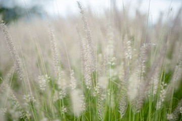 Blur of white flower grass on field.Nature background concept.
