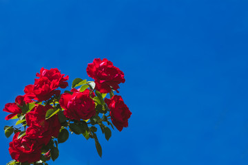 Bush of rose flower red summer background
