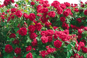 Bush of rose flower red summer background