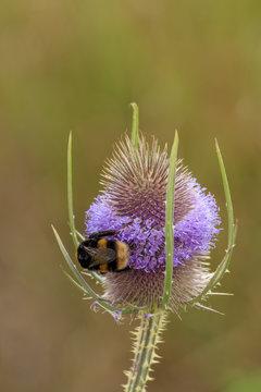 Bee on a teasel