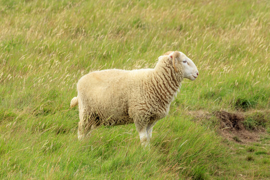 The solitary sheep