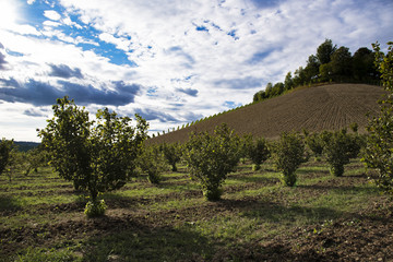 Rows of hazels on the Langa hills in Piedmont, in front of a blue sky full of clouds