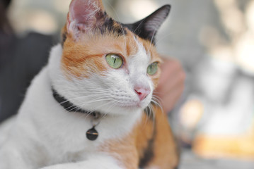 Calico cat, Cute tortoiseshell cat eye looking something