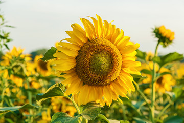 sunflower flowers growing on the field. farmers grow sunflowers for cooking oil