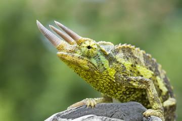 Colorful Jackson's Chameleon (Trioceros jacksonii)