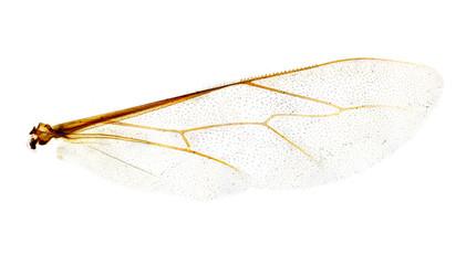 Microscope bee wing