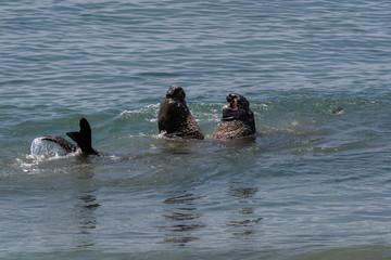 Elephant Seals on the California Coast - Piedras Blancas near San Simeon