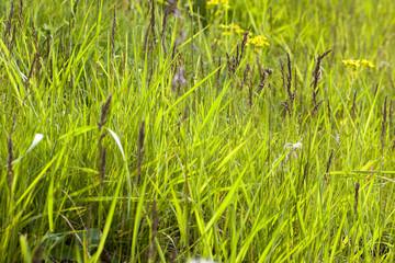 Green grass, close-up