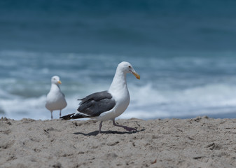 Seagulls at the beach in Malibu, California