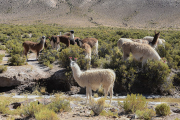 Llamas grazing in the highlands of the Andes Mountains, near Tupiza, Bolivia, South America