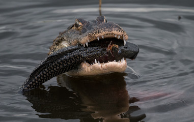 Closeup of an Alligator