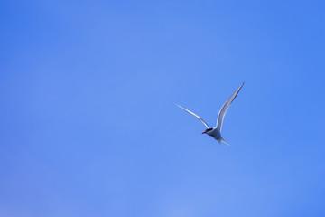A single bird in flight on the Isle of Muck, Scotland