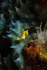 Wall Murals Nasa Hippocampus pontohi Pygmy Seahorse