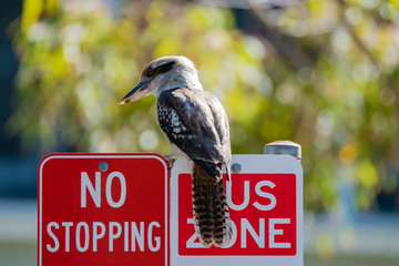 Kookaburra on a road sign