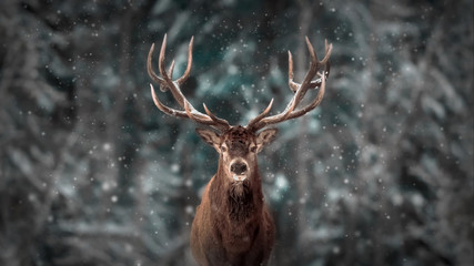 Noble deer male in winter snow forest. Artistic winter christmas landscape.