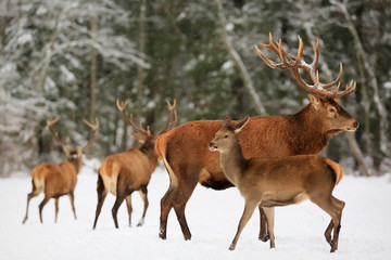 Wall Mural - A noble deer male with female in the herd against the background of a beautiful winter snow forest. Artistic winter landscape. Christmas image.