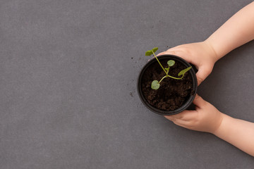Top view on small sprout in a bin in child's hands on grey table background. Growing concept
