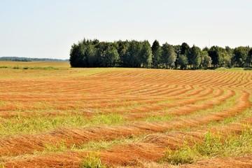 Ровные ряды скошенного льна яркого цвета на поле перед уборкой