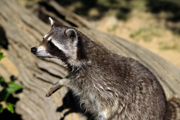 Portrait of of lotor common raccoon (procyon lotor)