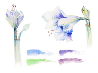 Watercolors of amaryllis flowers on a white background