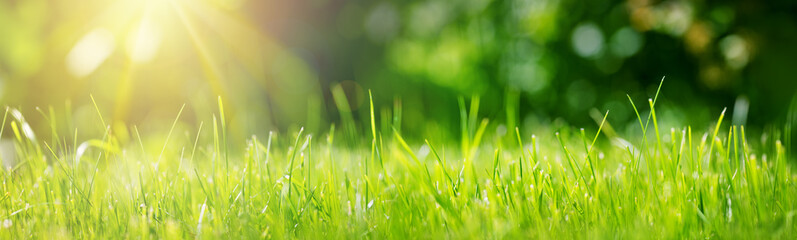 Fresh green grass background in sunny summer day in park Fototapete