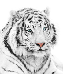 Wall Mural - Beautiful white tiger isolated on white background