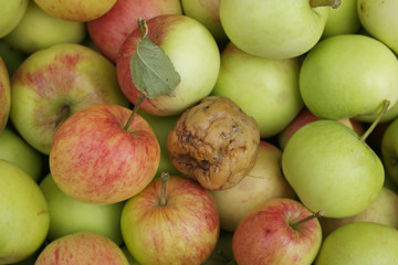 one bad apple will spoil the lot