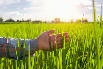 hand farmer touching green rice in farm with sunrise
