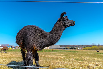 WILDLIFE, FARM, GERMANY - A lama with thick dark brown fur, lives on a pasture in Deckenbach Germany, on a sunny day with a blue sky.