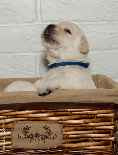 Labrador Puppies On White Brick Wall Background Close Up Stock
