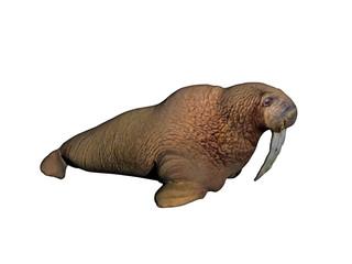 Walross mit langen Hauern